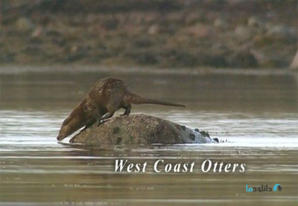 West Coast Otters 2005 Cover Small دانلود مستند ساحل غربی سمورها 2005 West Coast Otters